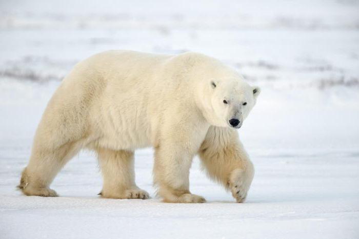 Къде живее полярната мечка?