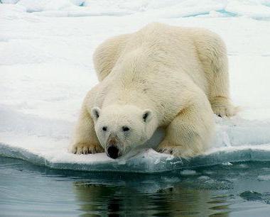 В коя естествена зона живее полярната мечка?
