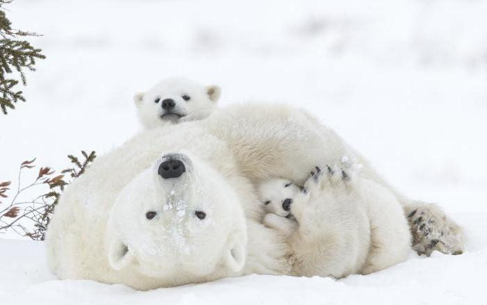 Къде живее полярната мечка в коя зона?