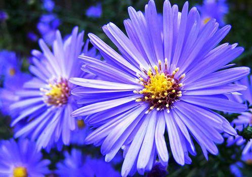 kakšne trajne cvetove lahko posadimo v jeseni
