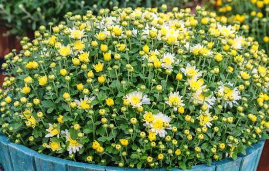 trajnice za cvetlične gredice