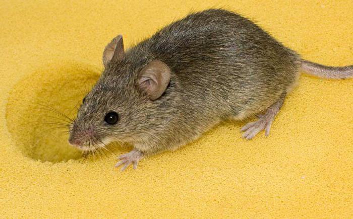 jaki zapach obawia się myszy