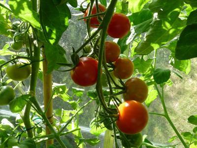 Varietà precoci di pomodori per serre