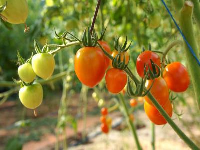 Ritaglia le varietà di pomodori per le serre