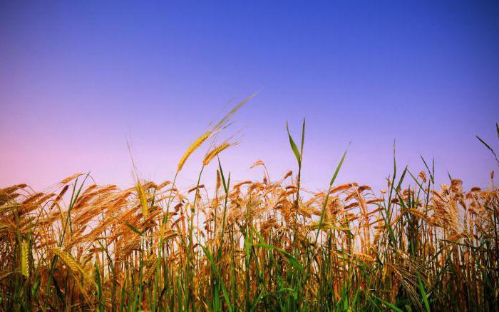 широка пшеница