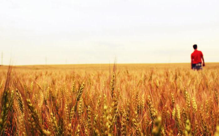 пшенично поле