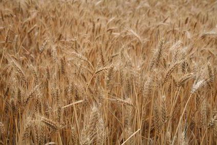пшенично ръжено брашно