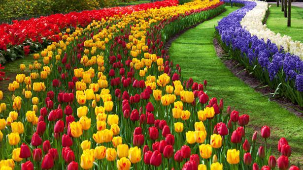Kada posaditi tulipane u jesen