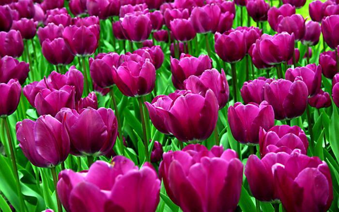 Kdaj jeseni tulipani