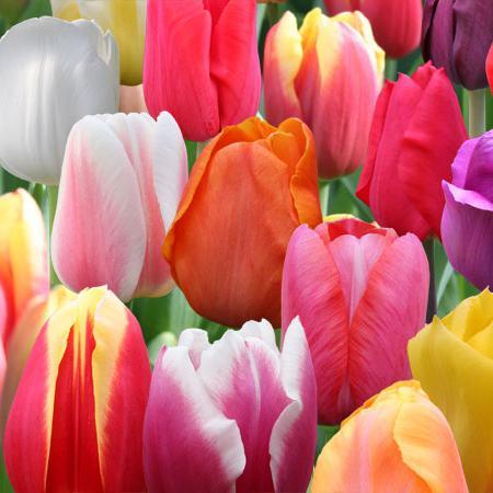Čas sajenja tulipanov jeseni
