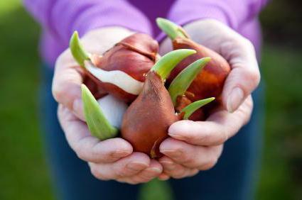 Kada presaditi tulipane u jesen