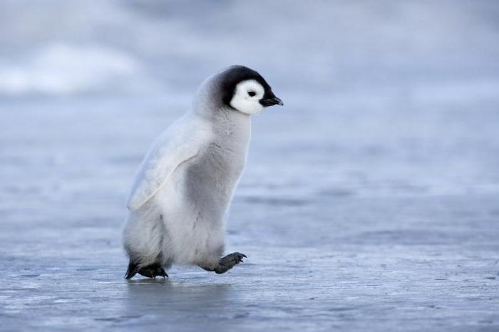 dove vivono i pinguini nella foto artica o antartica