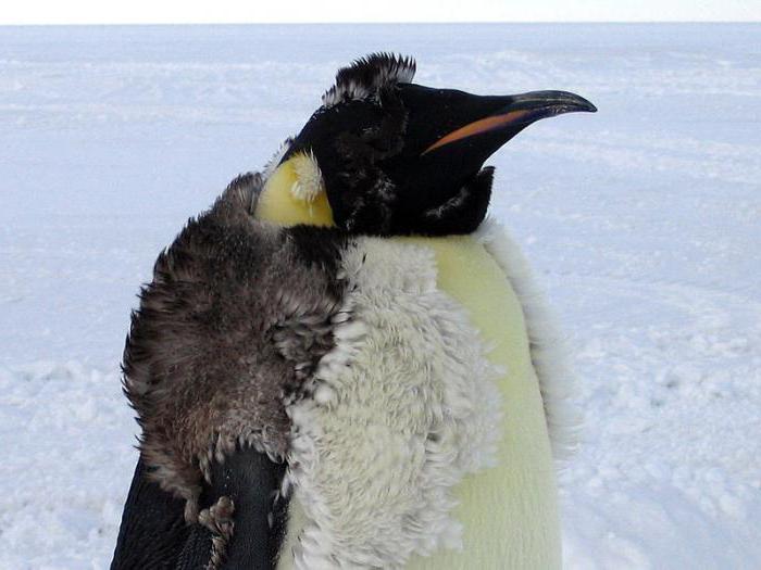 dove i pinguini vivono nell'Artico o nell'antartico e cosa mangiano