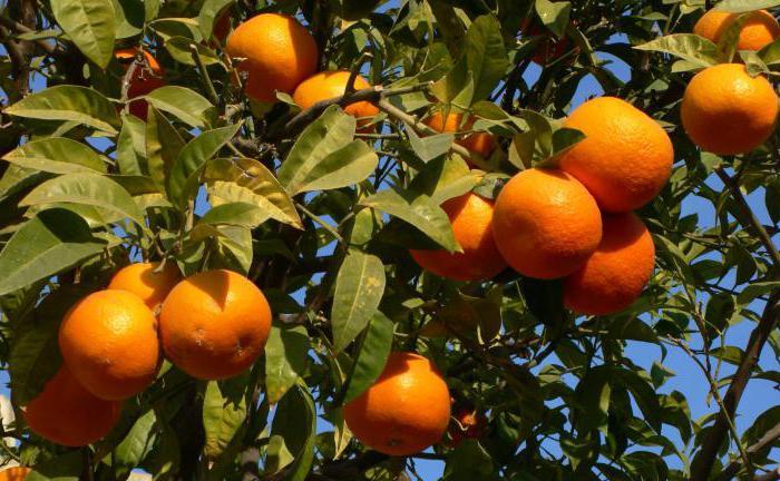 Dove crescono i mandarini