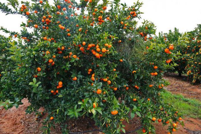 Dove crescono i mandarini in Russia