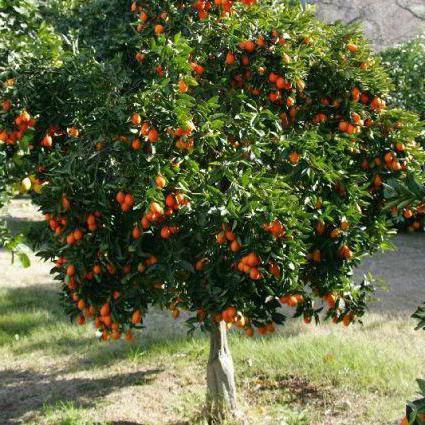 Il paese dove coltivano i mandarini