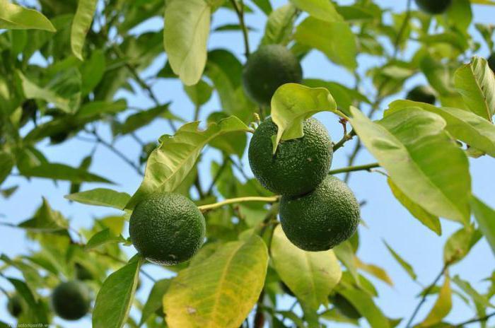 Dove crescono i mandarini in quale paese