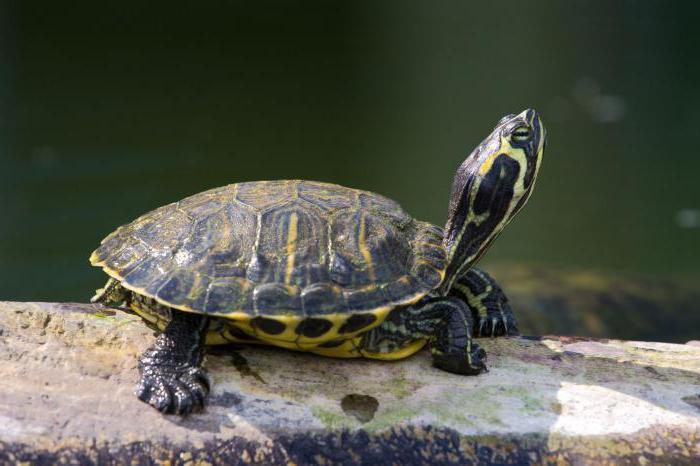kde žijí želvy červenohnědé