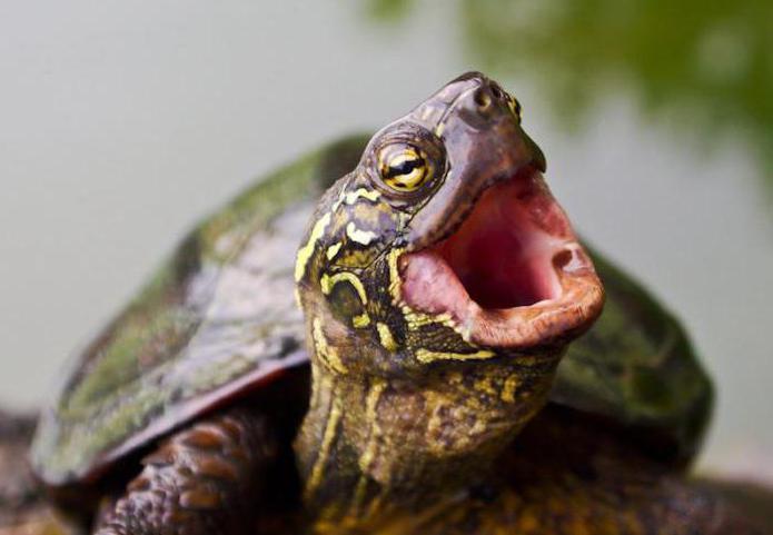 kde želvy žijí v přírodě