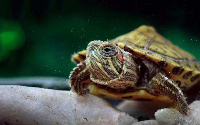kje živi želva