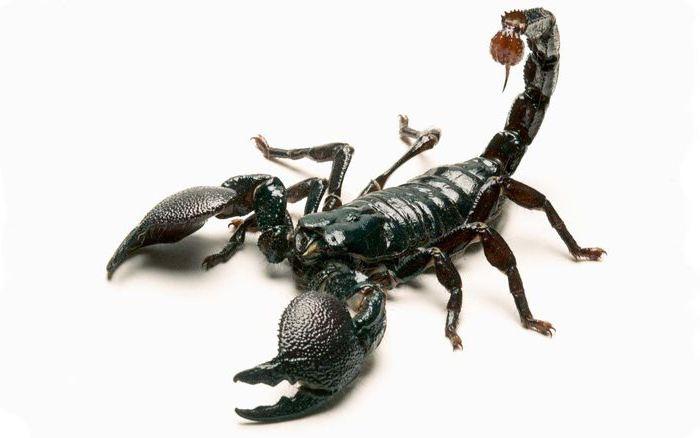 što škorpion jede u pustinji