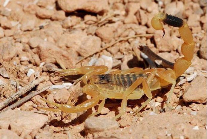 što škorpioni jedu kod kuće