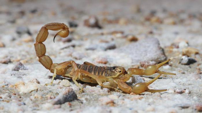 što škorpion jede u pustinji Rusije