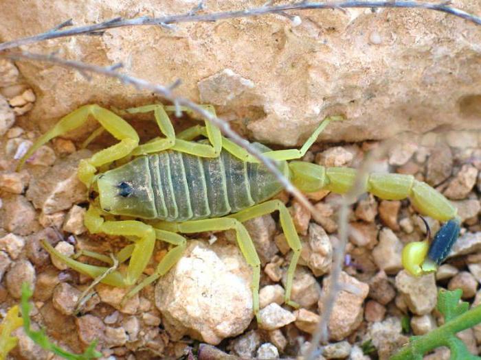 što jesti škorpion