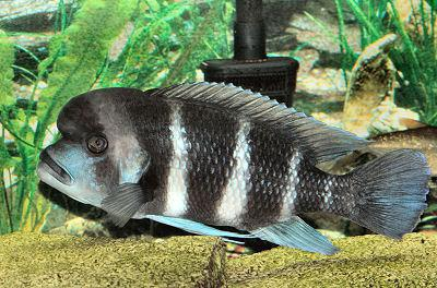 Cichlids of Lake Tanganyika