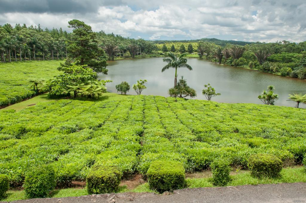 Piantagioni di tè di Mauritius