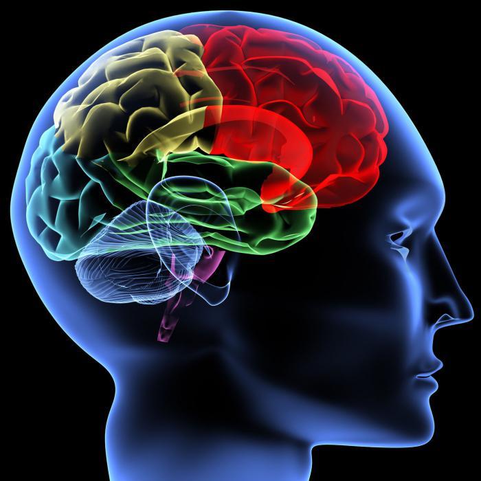 предна част на мозъка