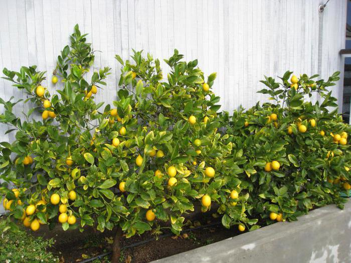 Къде лимонът расте