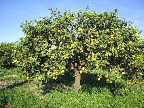 Когато лимоните растат в коя страна