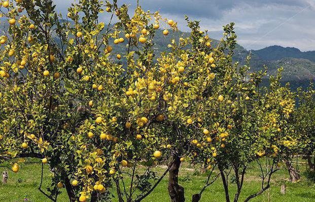 Къде се отглежда лимон на дърво