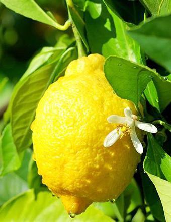 Къде расте най-големият лимон в света
