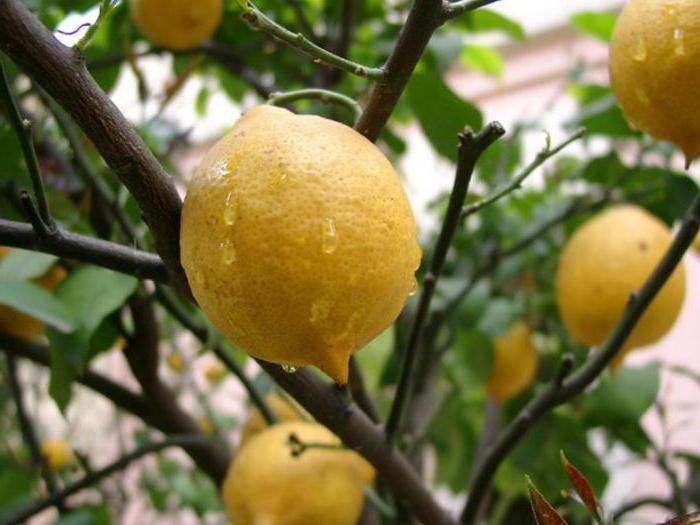 Състав и описание на лимона