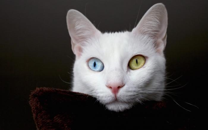 Razze di gatti bianchi