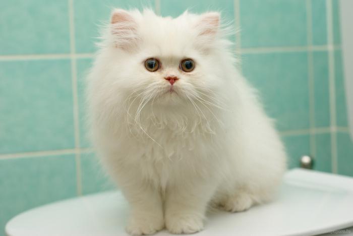 Gatto bianco birichino