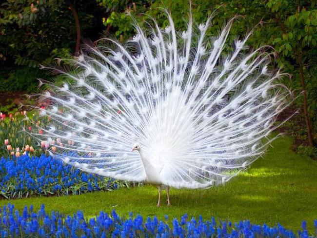 Beli Peacock Moskva