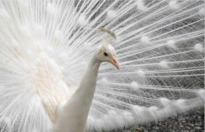 Beli golobi