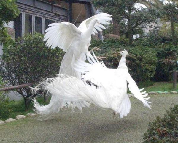 Beli pavi