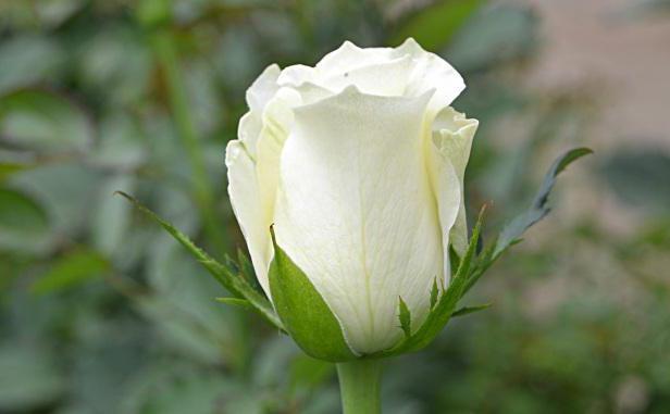 bouquet di rose bianche in un sogno
