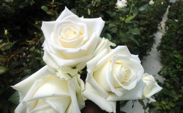 in sogno regala rose