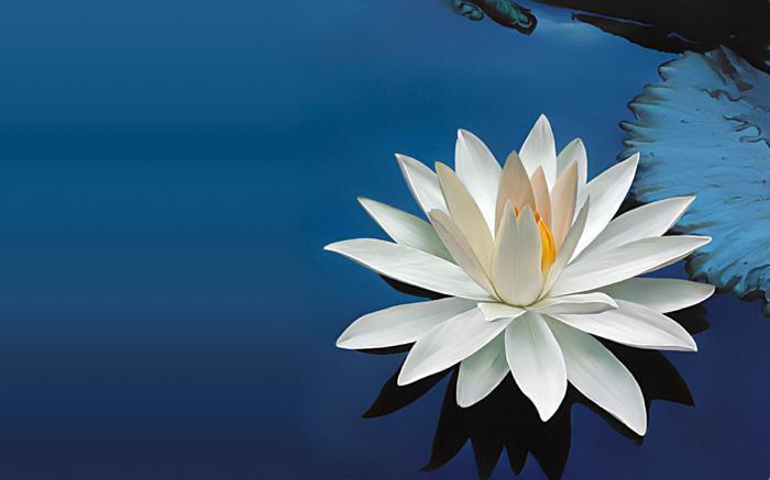 bijeli vodeni ljiljan