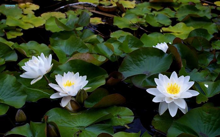 bijeli opis vodenog ljiljana