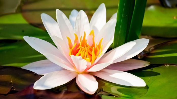 bijela vodenasta biljka
