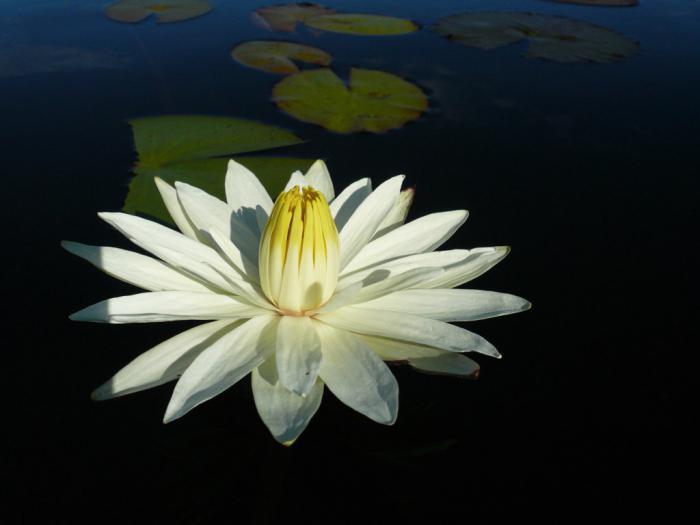 bijeli cvijet vodenjaka
