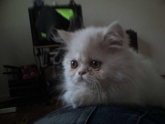 плаче бяла котка