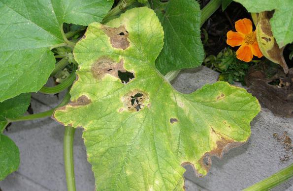 zašto se na listovima krastavaca pojavljuju žute mrlje