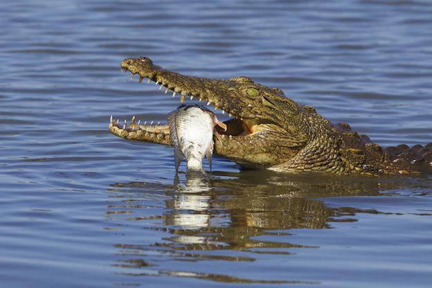 Зашто крокодили плачу кад једу